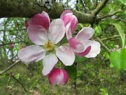 flor apple