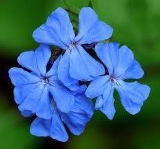 flor cerato