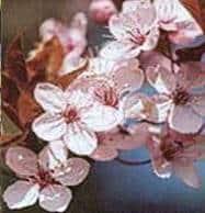 flor cherry plum