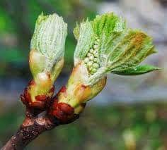 flor chestnut bud
