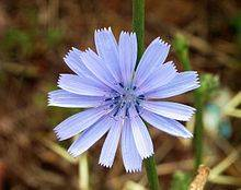 flor chicory