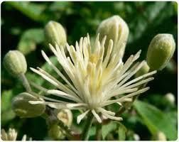 flor clematis