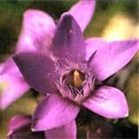 flor gentian