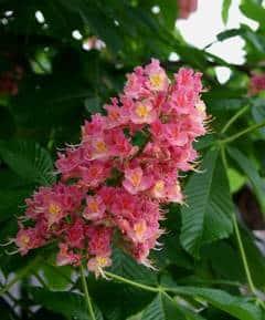 flor chestnut