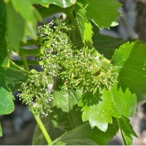 flor del vino