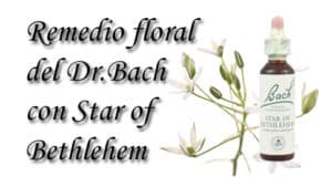 remedio floral con star of bethlehem