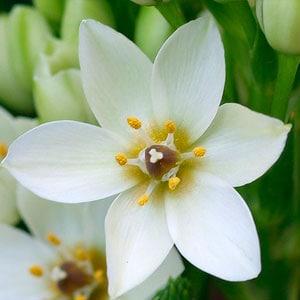 flor star bethlehem
