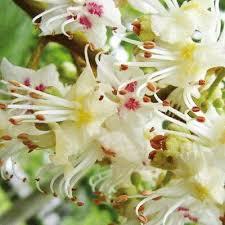 flor white chestnut