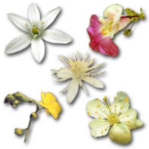flores rescue remedy