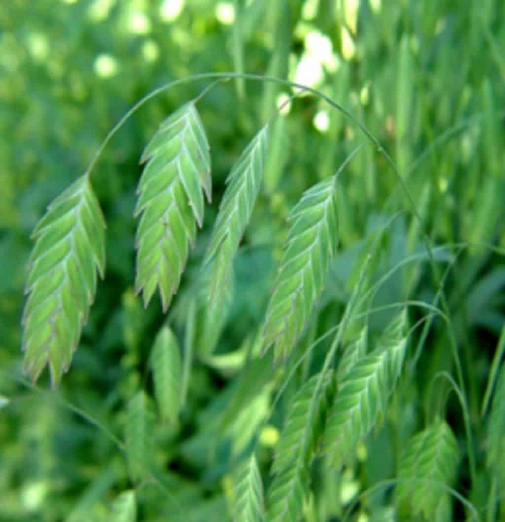 flor wild oat